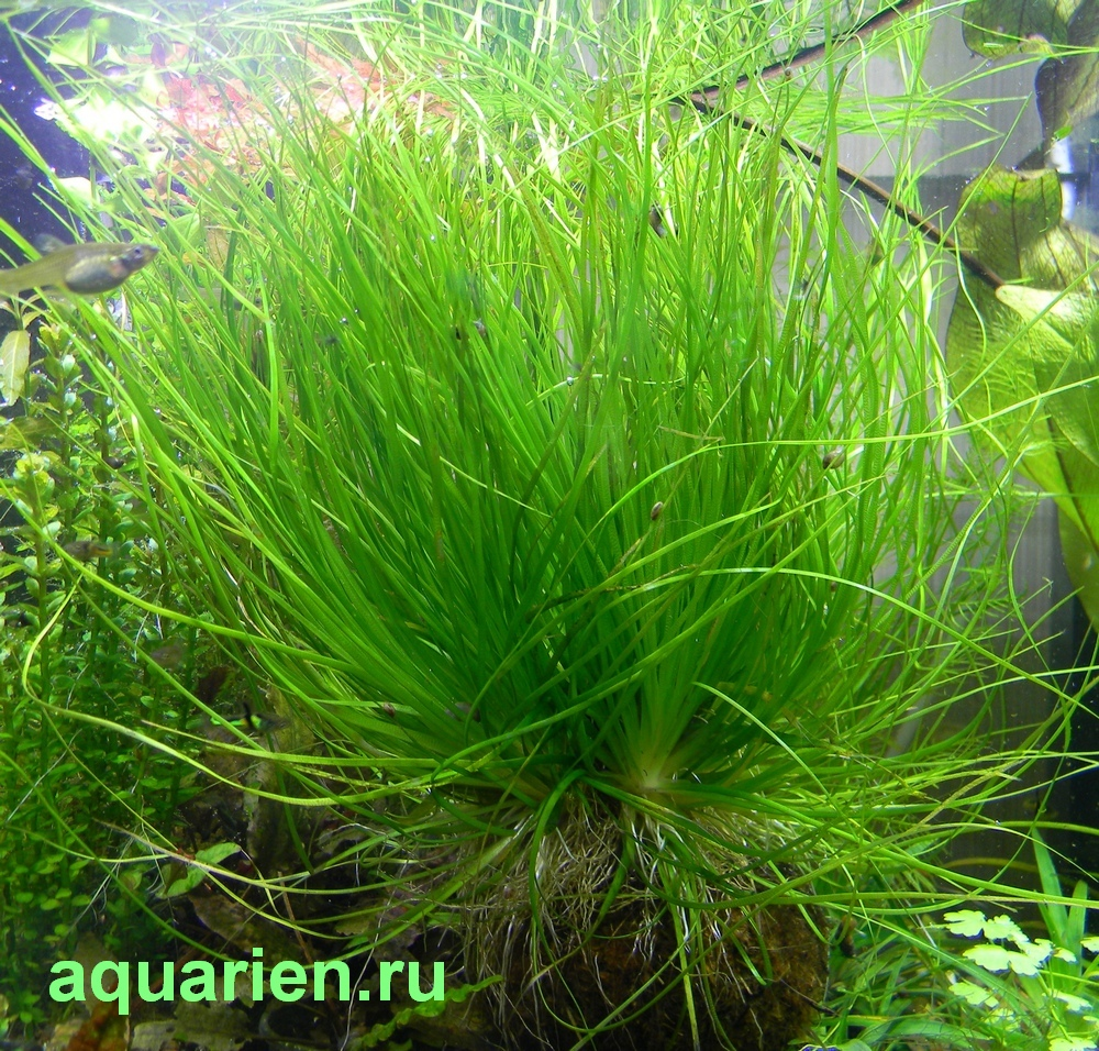Eriocaulon-sp-Bushy-Green-в-Спб